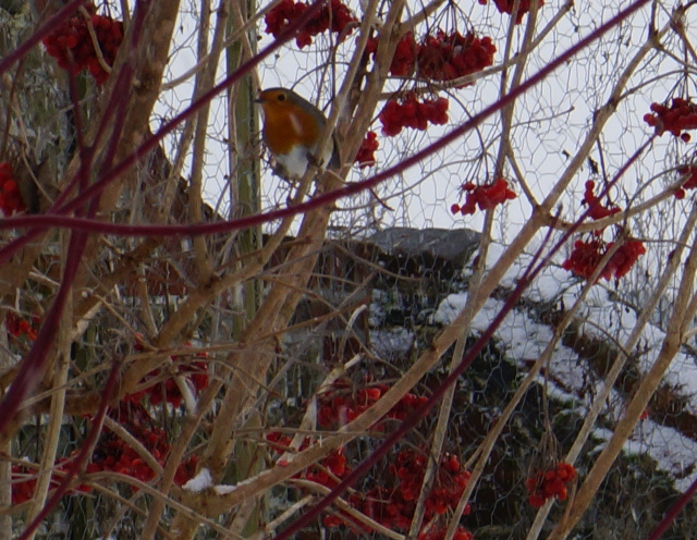 A Robin sits on one of our Wayfaring Trees - Guilder Rose, or Viburnum opulus.