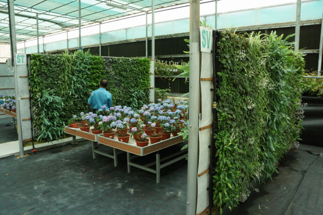 Indoor walls growing in Acacia's nursery