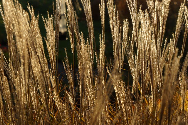 Miscanthus seedheads