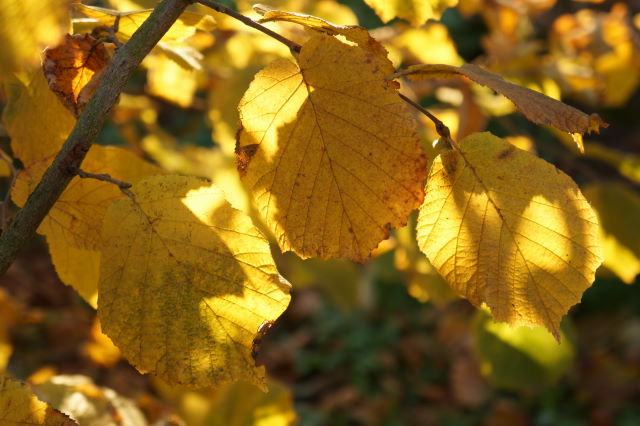 Golden Leaves of Hazel