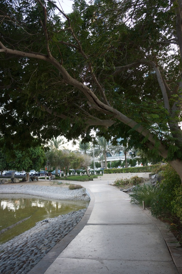 Delonix trees in a public park in Dubai - note the cracked branch over a footpath!