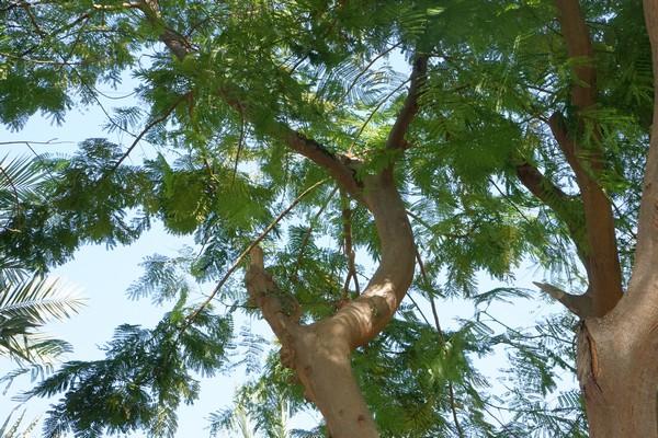 Canopy of Delonix regia