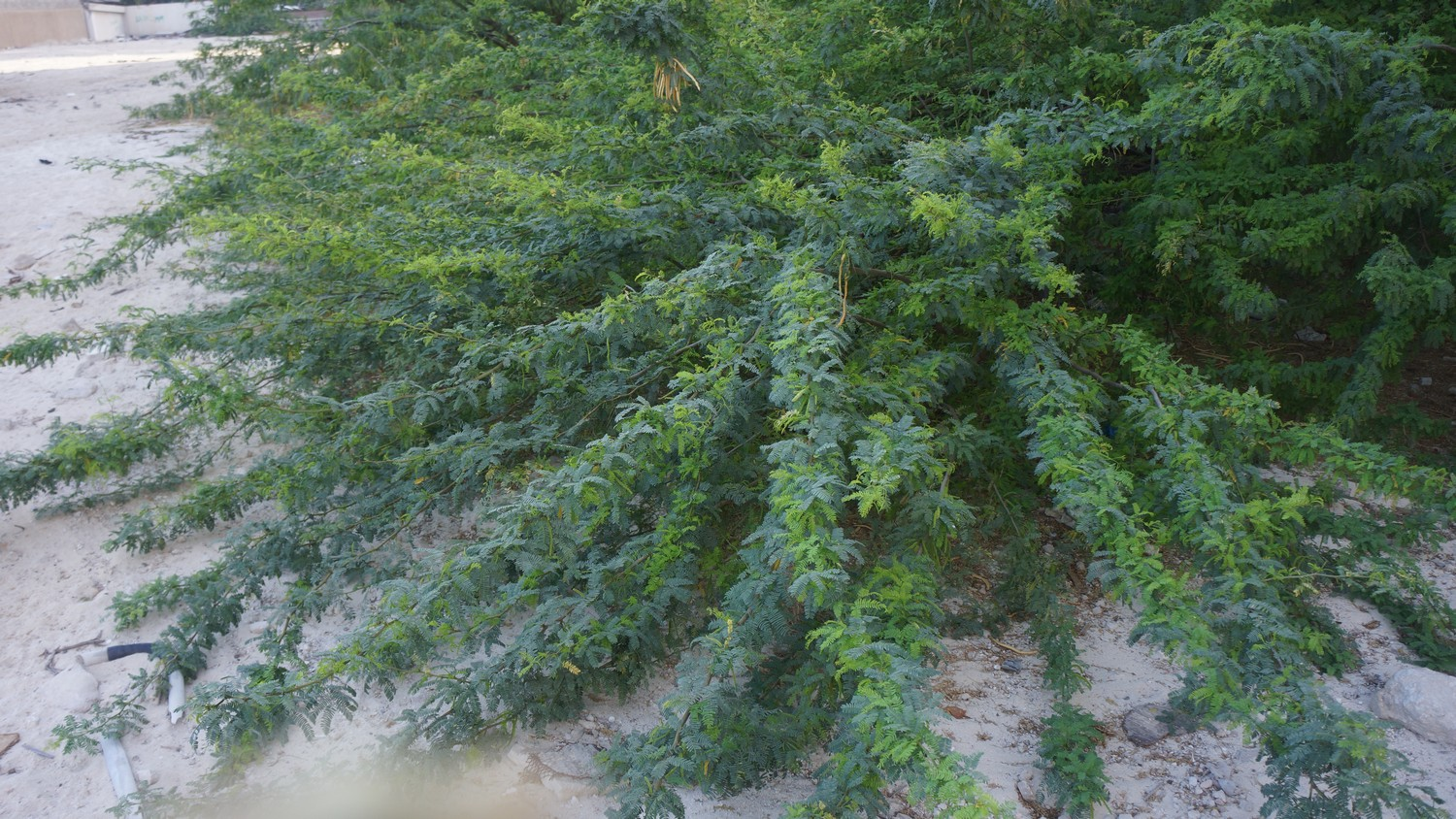P. Juliflora Has A Low, Mounding Habit, Attractive From A Landscape Point Of