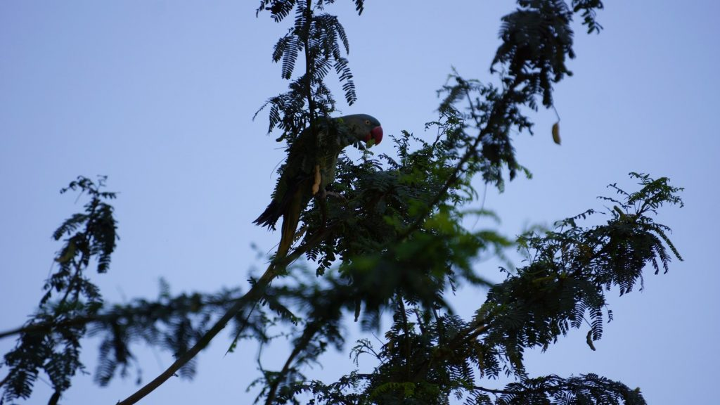 Rose-winged Parakeet