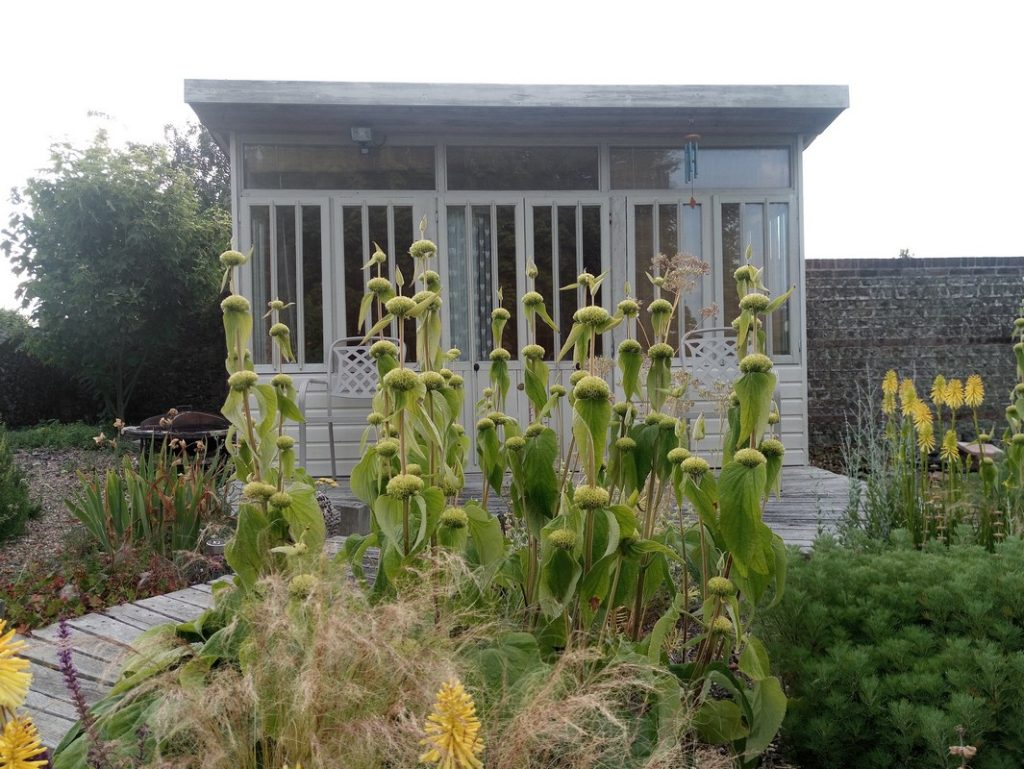 Phlomis russeliana, after flowering. The stem leaves have since dropped, leaving an brown, architectural structure.