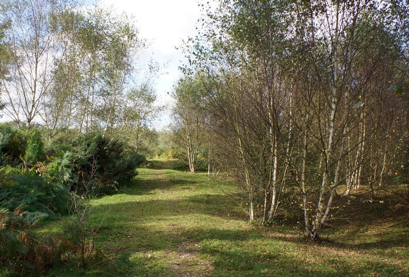 silver birch regeneration