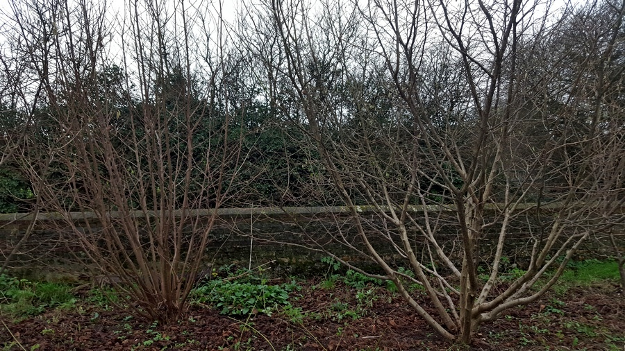 hazel pruning methods