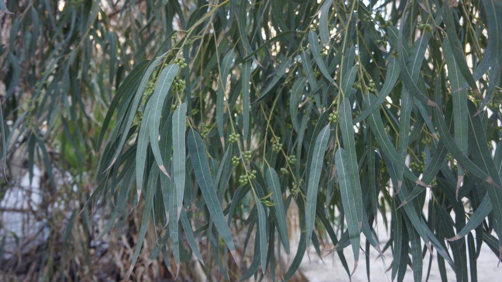 Eucalyptus glaucescens, showing adult foliage