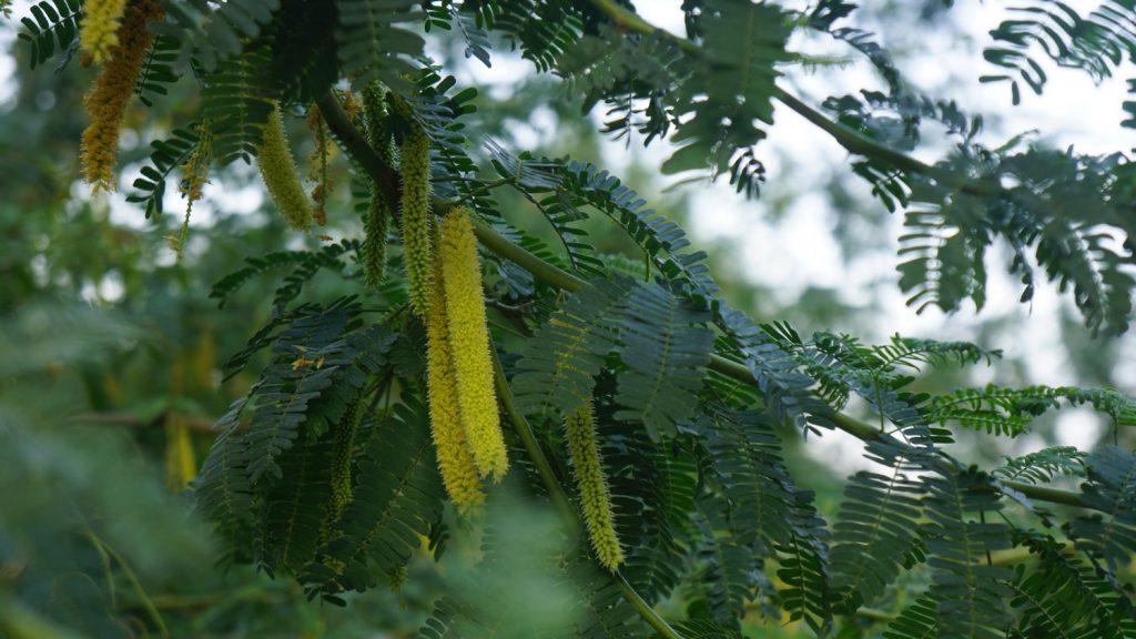 Prosopis juliflora flowers